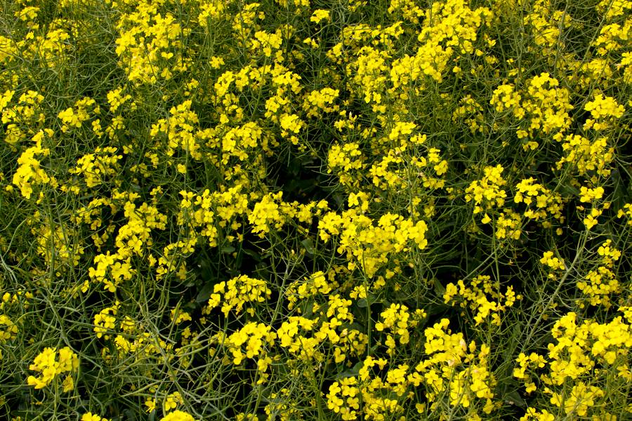 canola field nature free texture