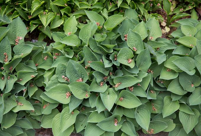 hosta funkia green