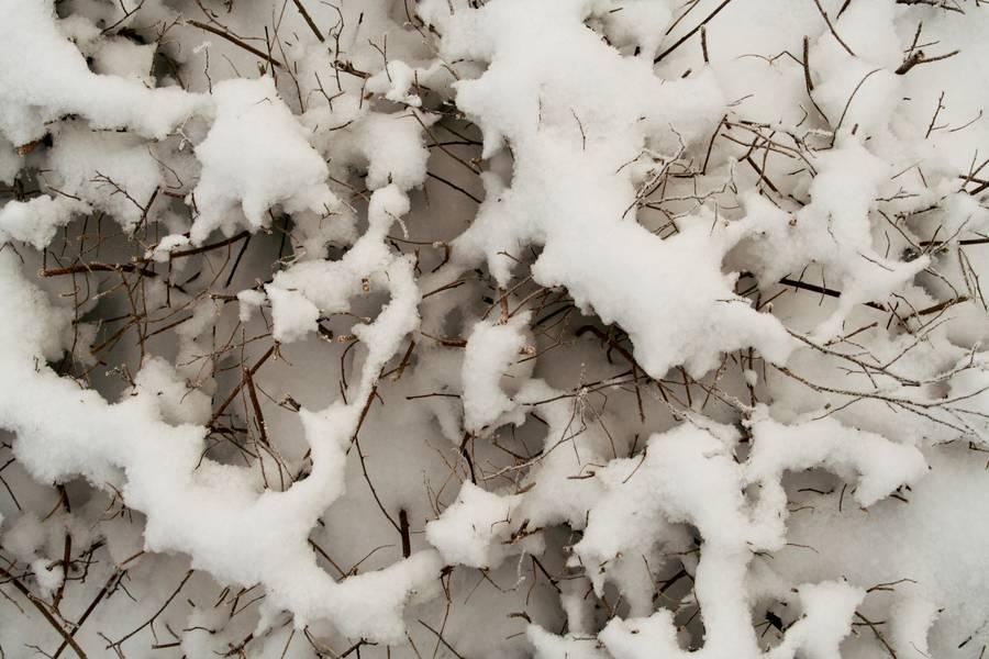 snow bush plant free texture