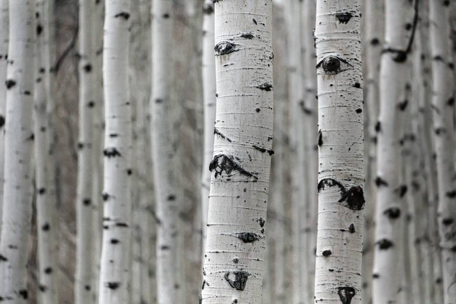 Birch Tree Trunks free texture