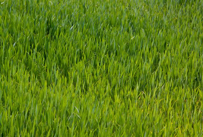 free young green field texture