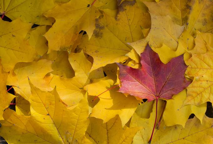 free Maple Yellow Leaves texture
