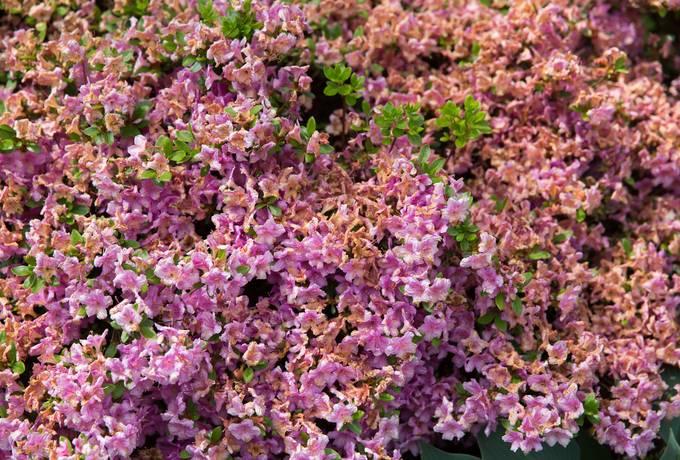 azalea pink flowers