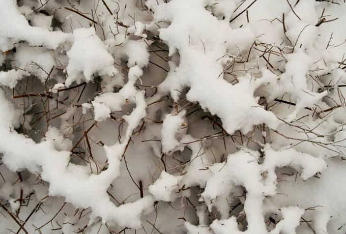 snow bush plant