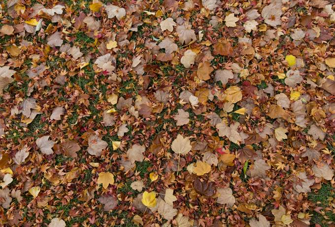free ground maple fall texture