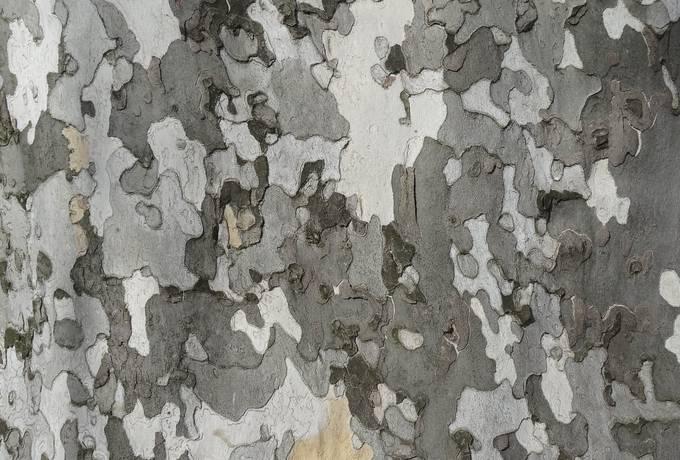 Platanus Bark