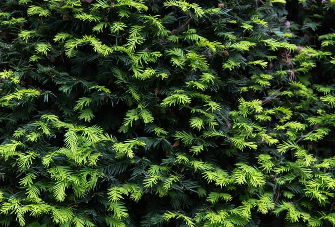 free yew taxus baccata foliage texture