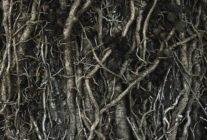 free Ivy Roots texture