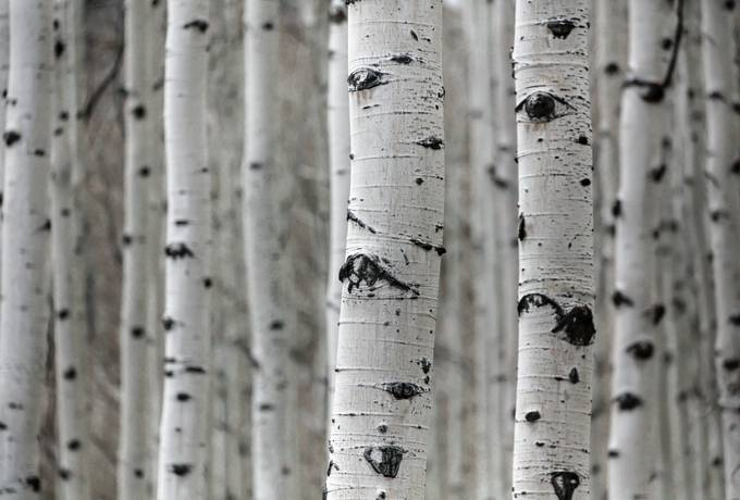 free Birch Tree Trunks texture