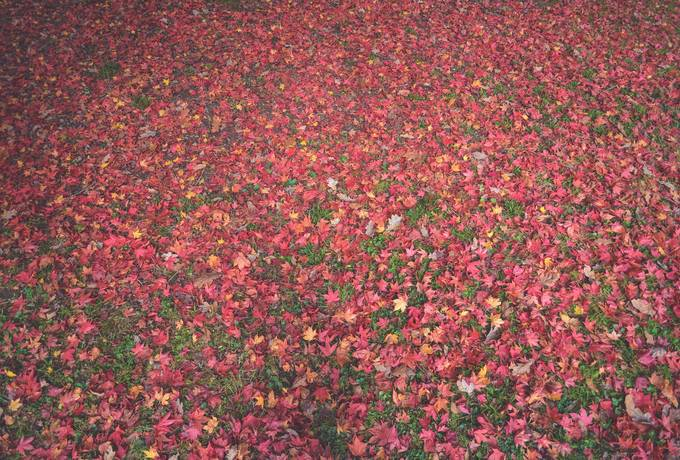 free Red Autumn Leaves texture