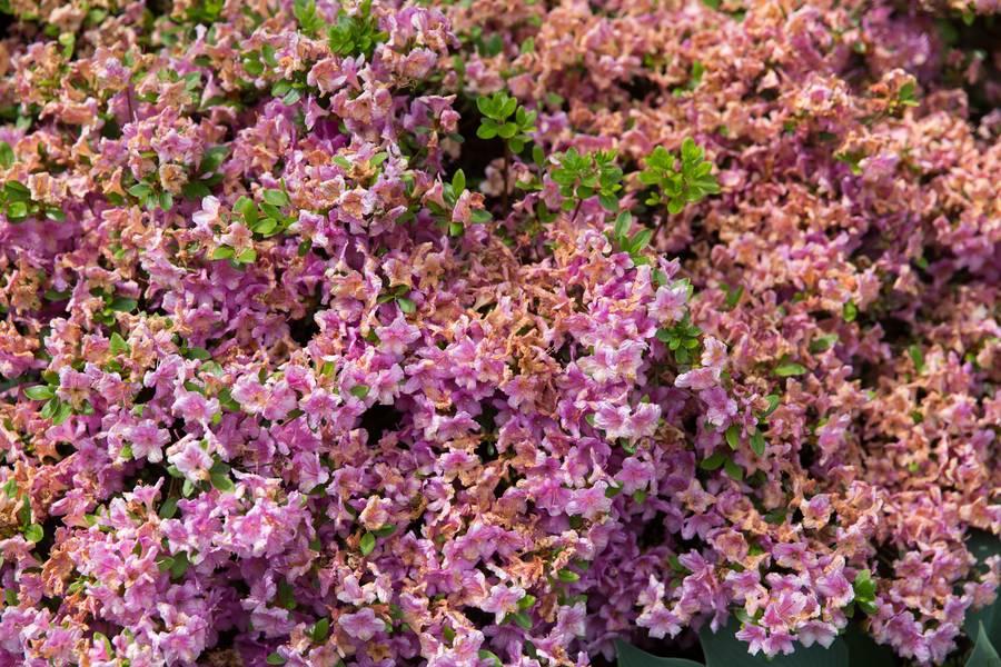 azalea pink flowers free texture
