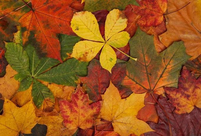 Autumn Maple and Chestnut Leaves