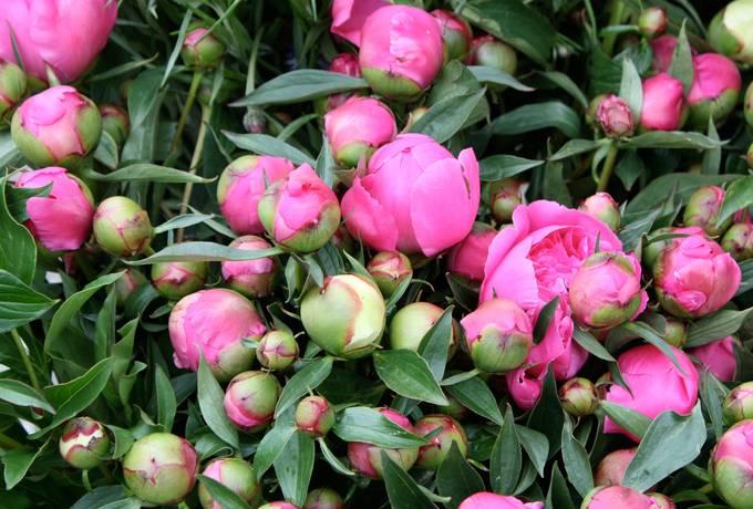 bud flowers peony