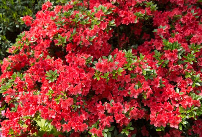 flowers rhododendron red