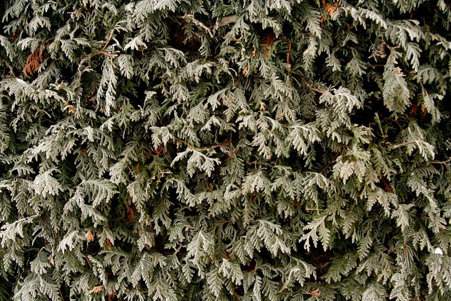 frozen winter thuja free texture