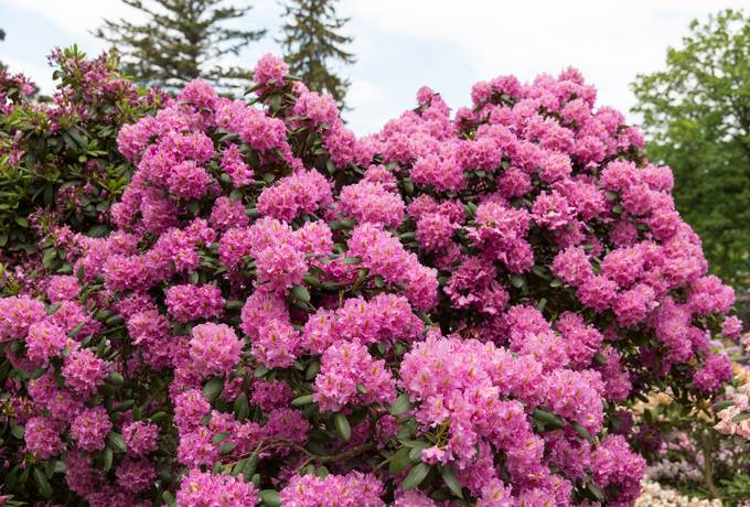 rhododendron shrub flowers