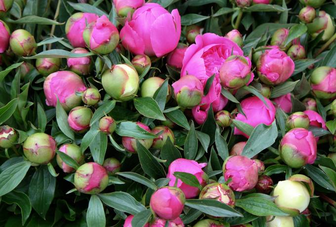 free peony plant nature texture