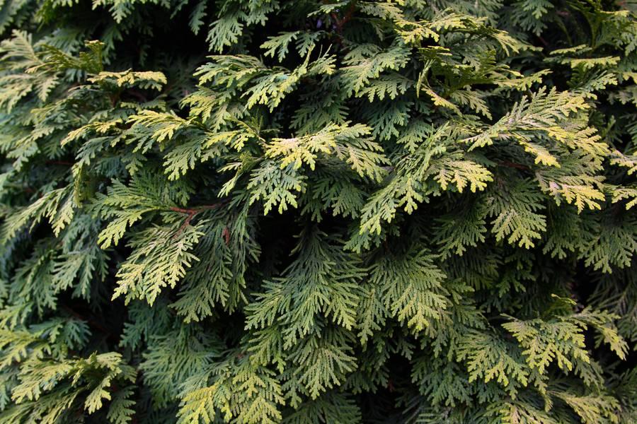 plant nature thuja free texture