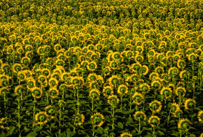 free Field of Blooming Sunflowers texture