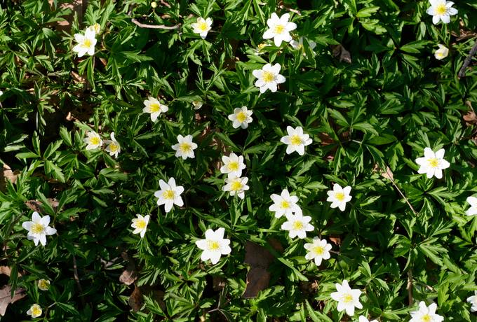 free anemone spring flowers texture