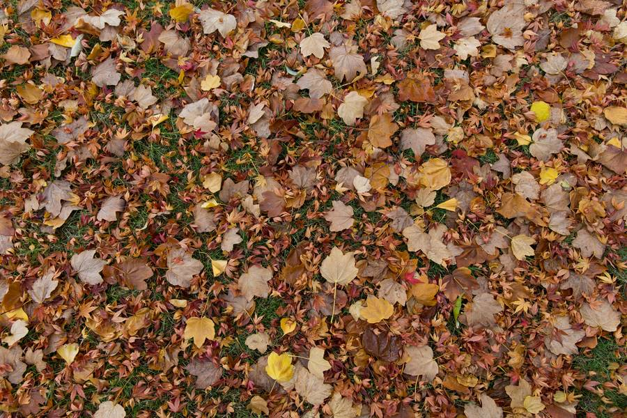 ground maple fall free texture