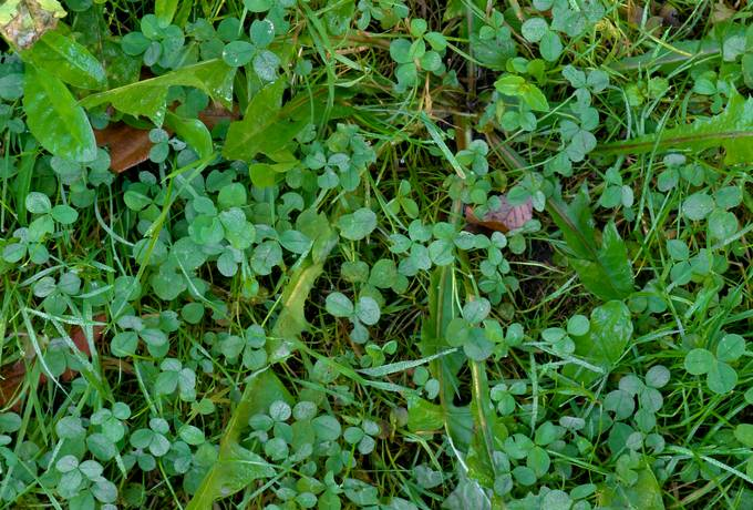 clover weed nature