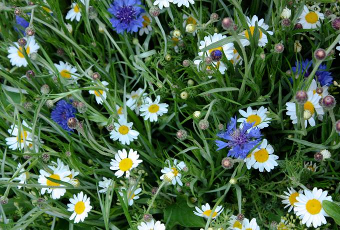 cornflower chamomile flowers