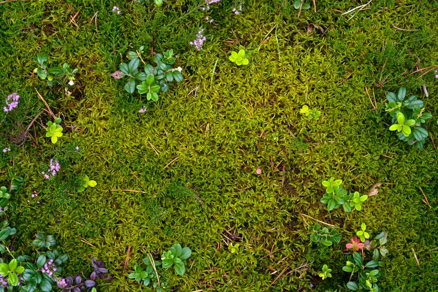 ground plant moss free texture