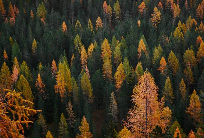 free Coniferous Autumn Forest texture