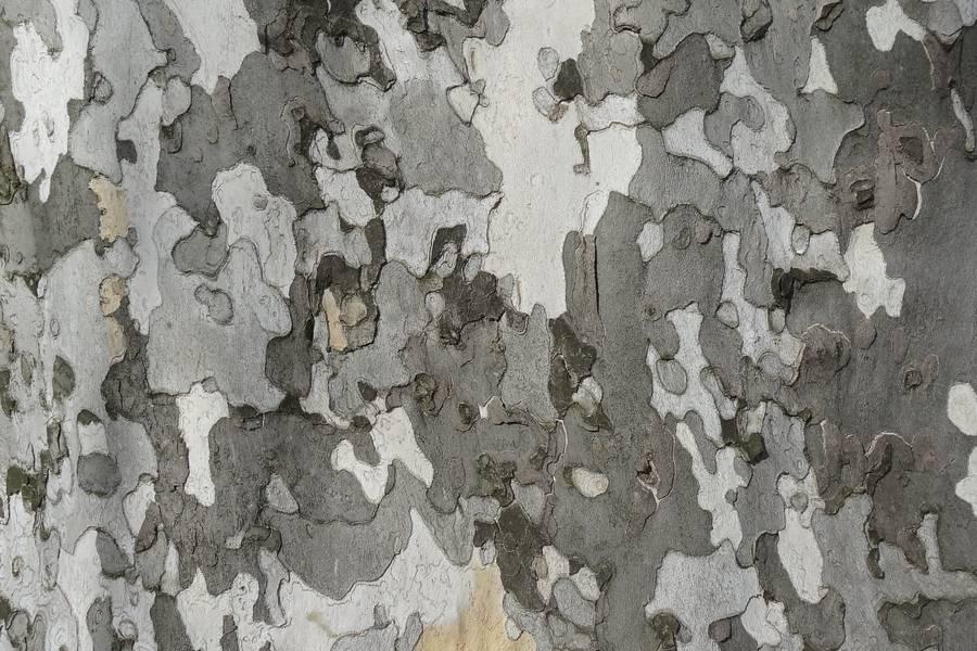 Platanus Bark free texture