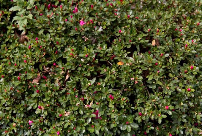 japanese azalea flowers