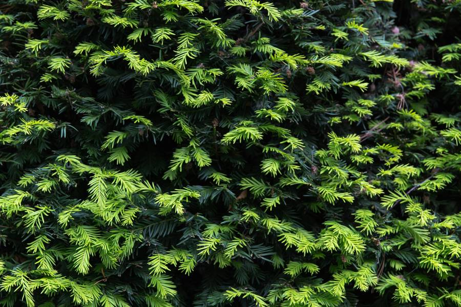 yew taxus baccata foliage free texture