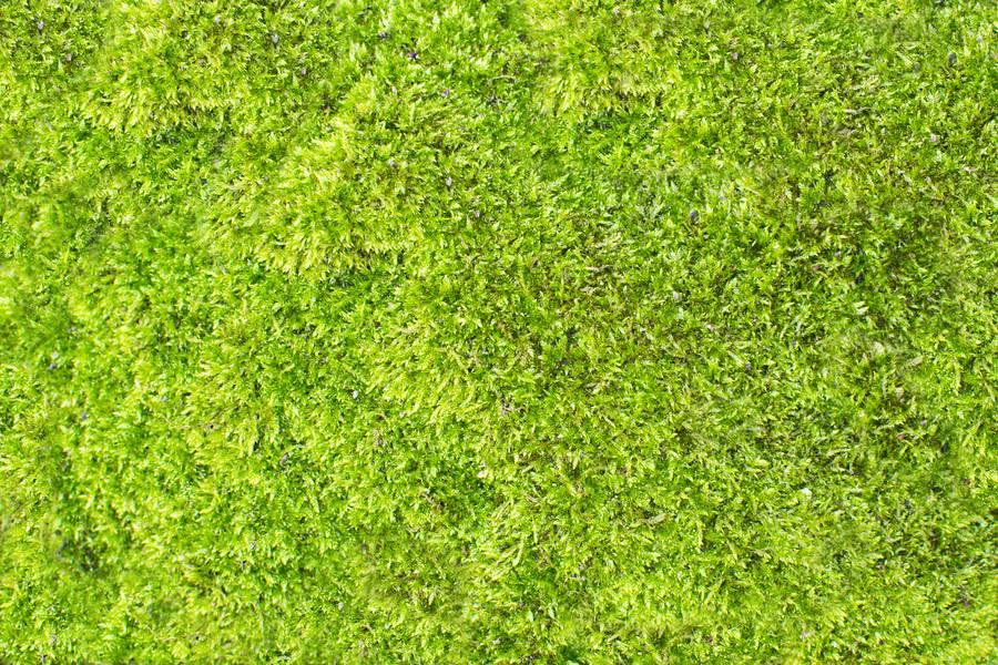 Natural Green Moss free texture