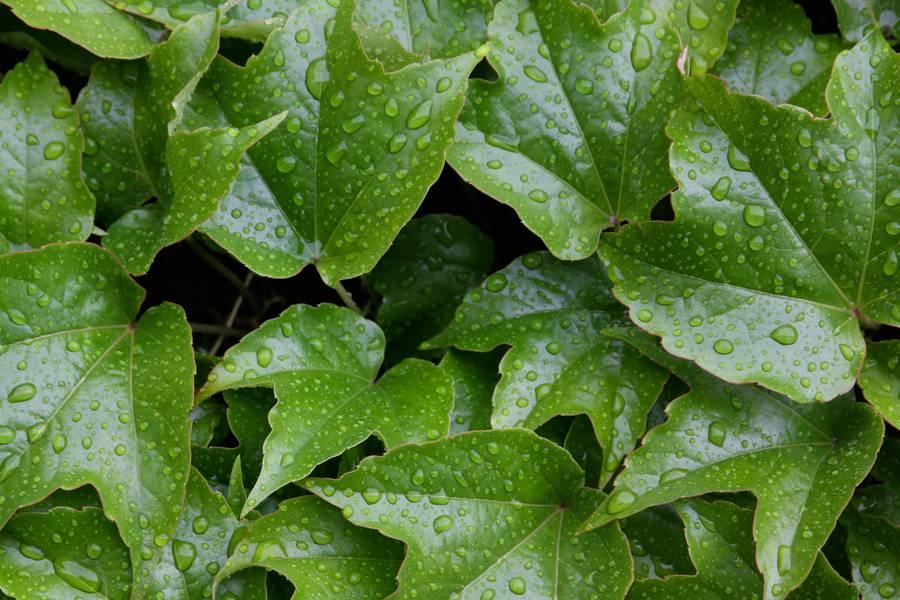 nature ivy leaf free texture