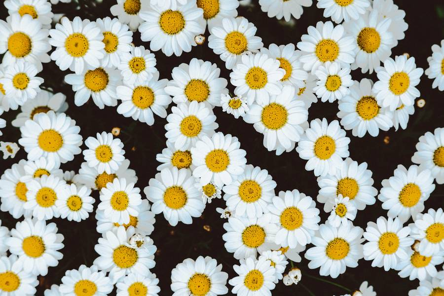 White Camomile Flowers Top View free texture