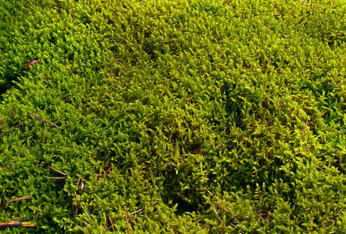 closeup moss nature