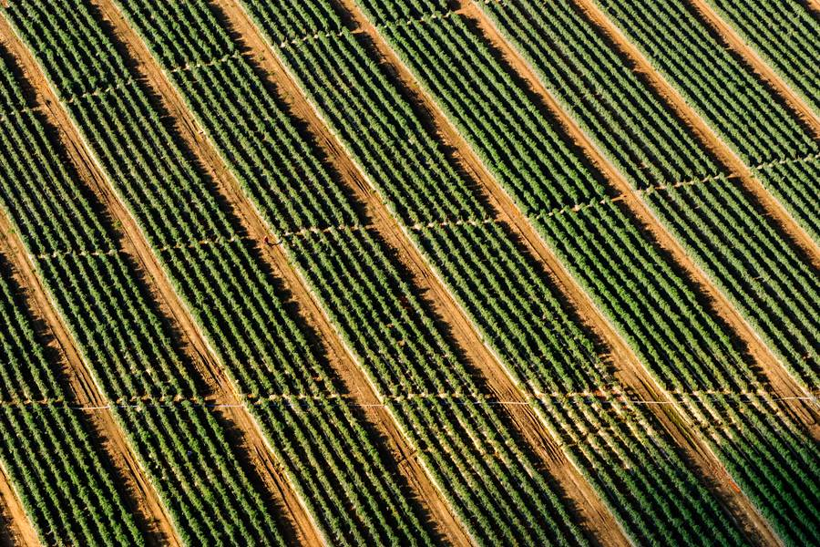 Vineyard from Above, Drone Photo free texture