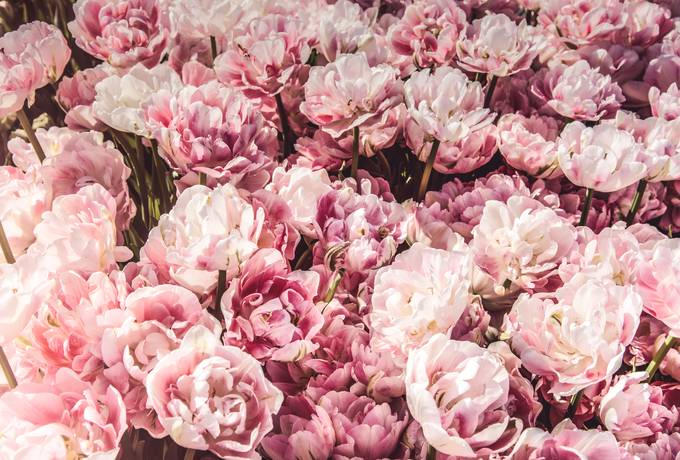 free Pink Flowers Background texture