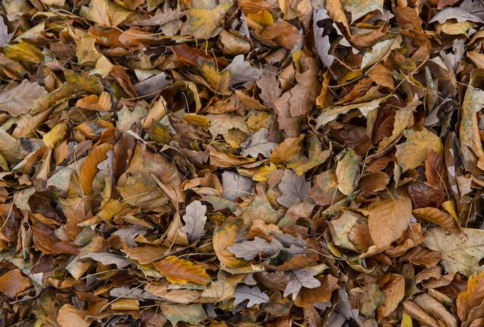 free autumn oak leaves texture