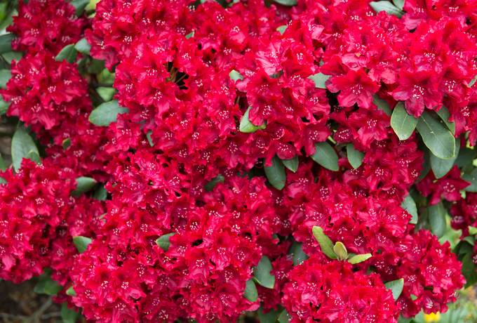 rhododendron red nature