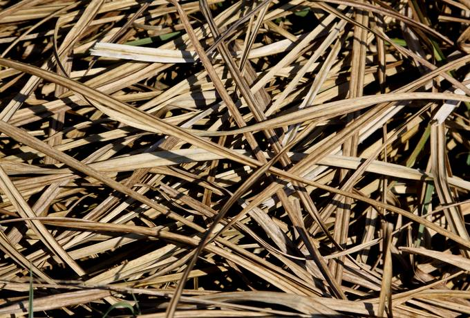 dry nature reed