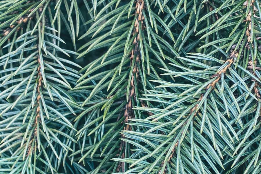 Coniferous Branches free texture