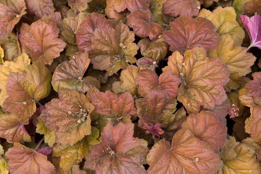 heuchera nature perennial free texture