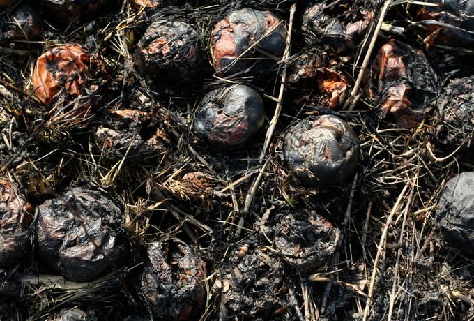 free rotten apple hay texture