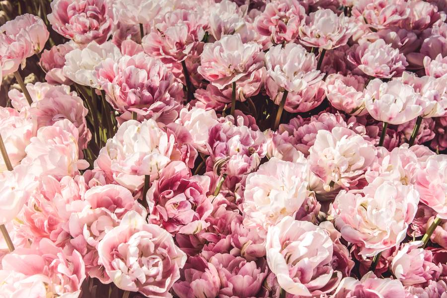 Pink flowers background free texture pink flowers background free texture mightylinksfo Choice Image