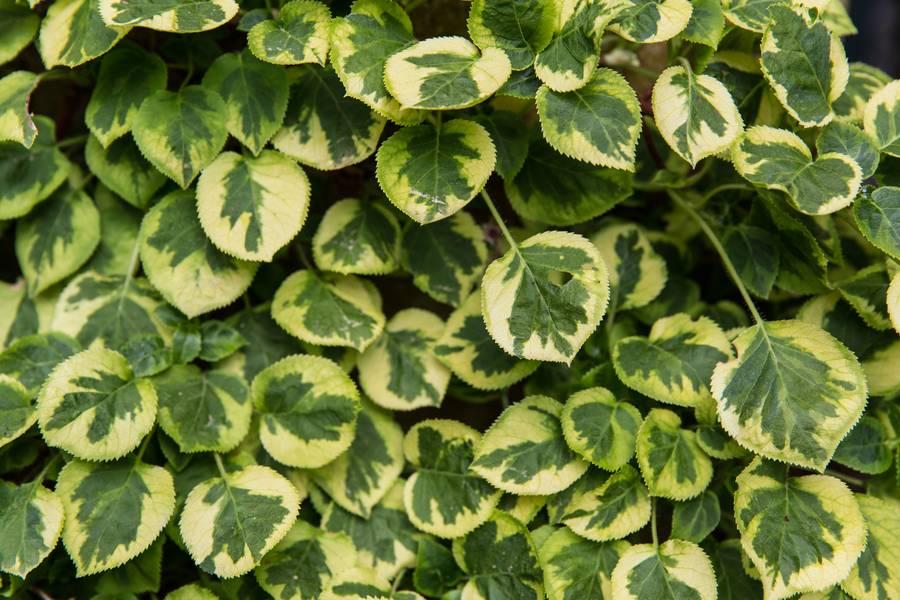 climbing hydrangea green leaves free texture