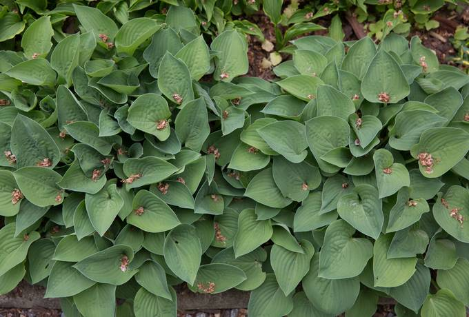 funkia hosta nature