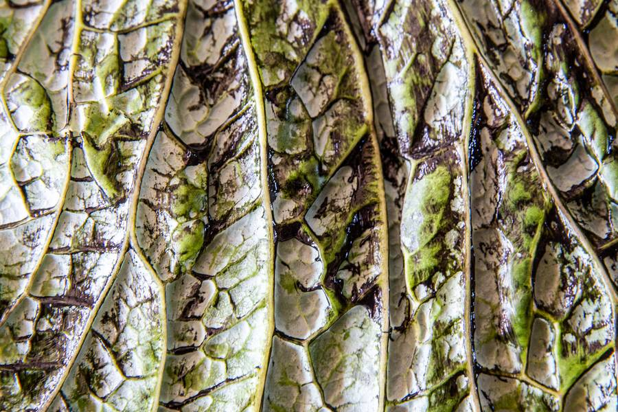Cabbage Leaf free texture