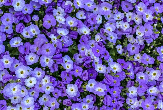 Purple Spring Flowers