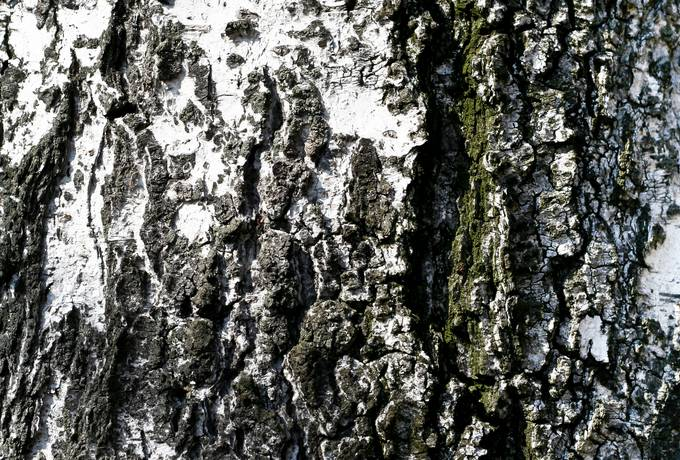 free wood birch cracked texture